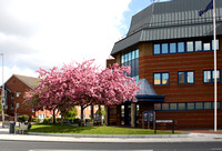 Flowering Cherry at the police station
